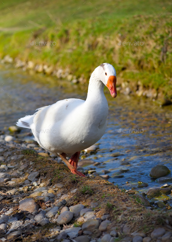 White domestic goose near the stream - Stock Photo - Images