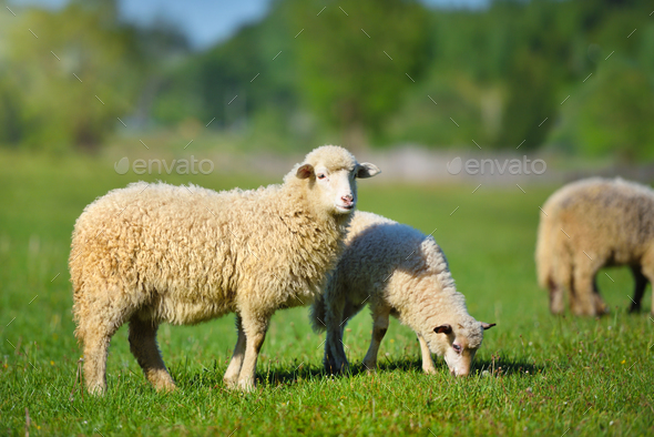Sheeps in a meadow on green grass - Stock Photo - Images