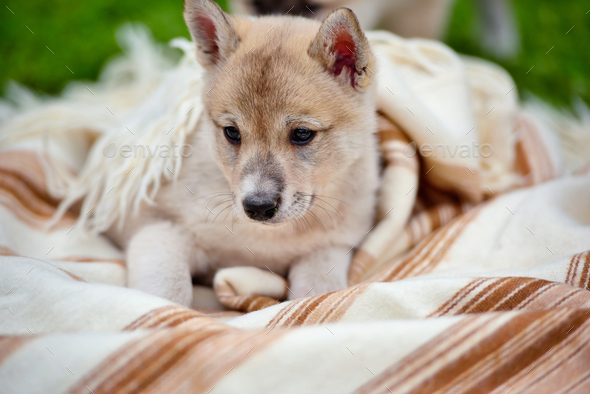 Portrait of cute Siberian Laika on the blanket - Stock Photo - Images