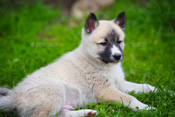 Portrait of cute Siberian Laika lying down on the grass - Stock Photo - Images