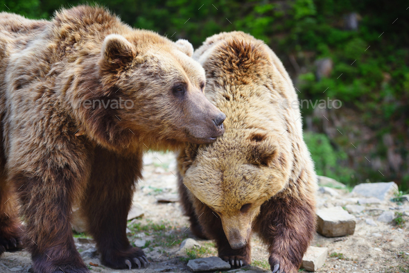 Two young brown bears in the summer forest - Stock Photo - Images
