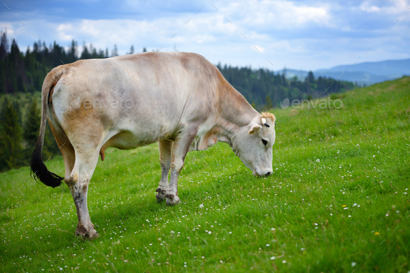 Cow grazing on a mountain pasture. Summer day - Stock Photo - Images