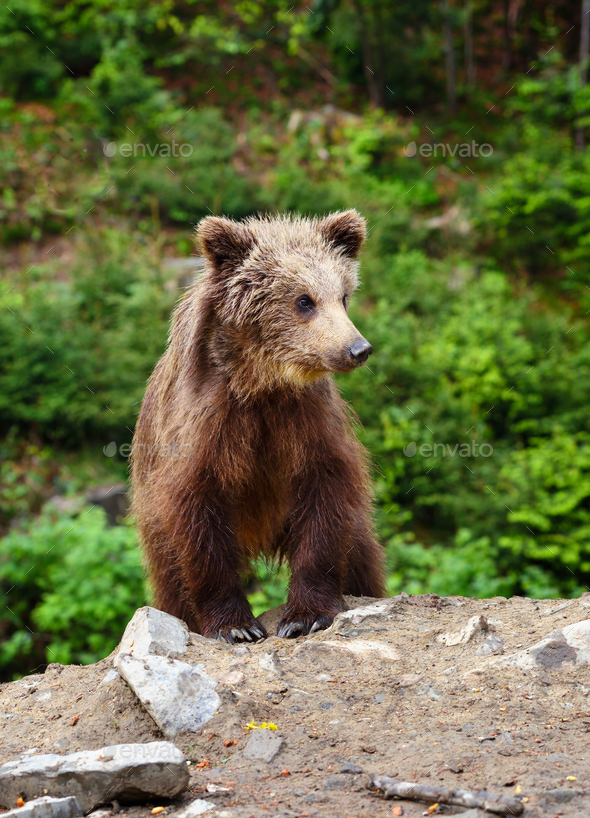 Cute little brown bear cub on the edge of the forest - Stock Photo - Images