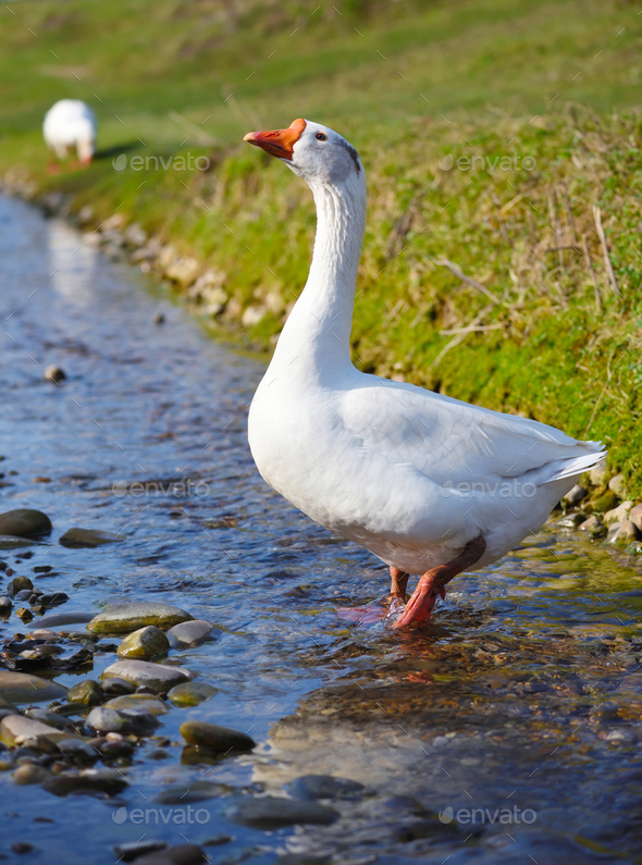 White domestic goose walking in shallow water - Stock Photo - Images