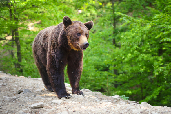 Young brown bear in the summer forest. - Stock Photo - Images