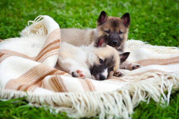 Two cute Siberian Laika puppies on the blanket - Stock Photo - Images