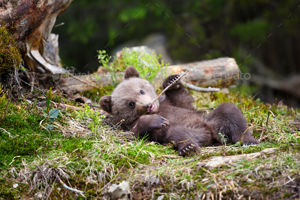 Funny little brown bear cub is played with a stick - Stock Photo - Images