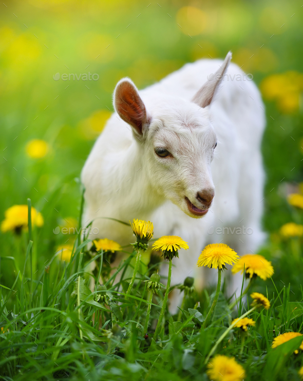 White little goat standing on green grass with yellow dandelions - Stock Photo - Images