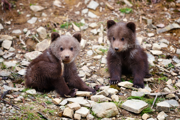 Two little brown bear cub on the edge of the forest - Stock Photo - Images