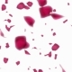 Falling Petals of Roses with on an White Background - VideoHive Item for Sale
