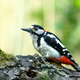 Greater spotted woodpecker (Dendrocopos major) is sitting on a fallen tree trunk - PhotoDune Item for Sale