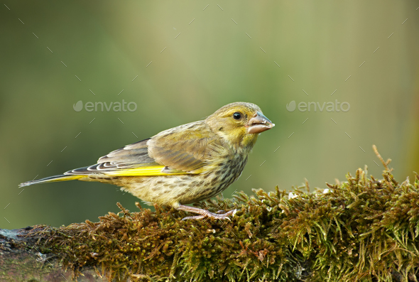 Greenfinch (Carduelis chloris) on mossy tree trunk - Stock Photo - Images
