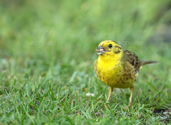 Male of yellowhammer (Emberiza citrinella) on beautiful green grass - Stock Photo - Images