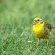 Male of yellowhammer (Emberiza citrinella) on beautiful green grass - PhotoDune Item for Sale