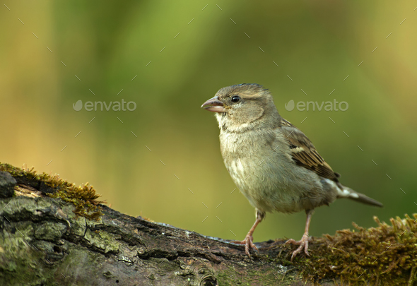 Young yellowhammer (Emberiza citrinella) in the spring morning - Stock Photo - Images