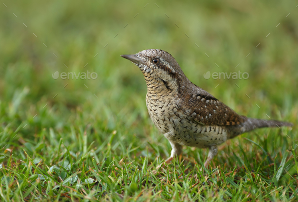 Wryneck (Jynx torquilla) on the grass - Stock Photo - Images
