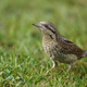 Wryneck (Jynx torquilla) on the grass - PhotoDune Item for Sale