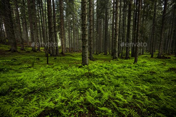 MWild and vibrant old forest in Slovenia Julian Alps - Stock Photo - Images