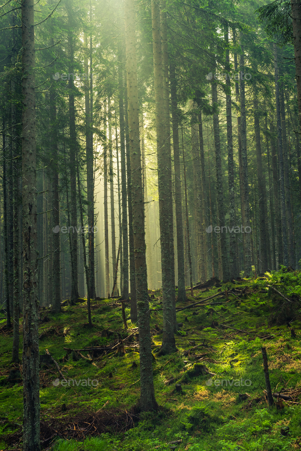 Sun rays cut trough trees in woodland - Stock Photo - Images