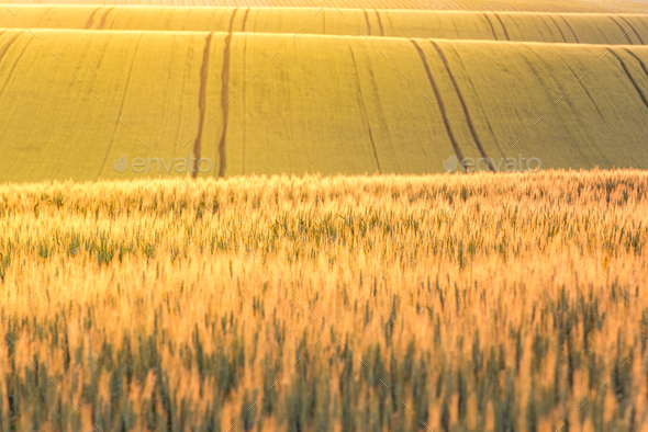 Golden sunrise over wheat fields - Stock Photo - Images