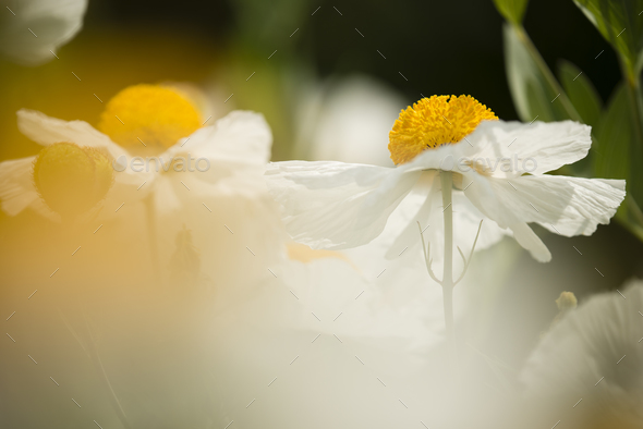 Details of California tree poppy flowers - Stock Photo - Images