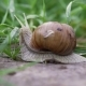 Grape Snail in Nature - VideoHive Item for Sale