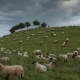 The Herd of Sheep Is Grazed in the Evening on the Suburb of Hannover Lower Saxony Germany - VideoHive Item for Sale