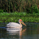 Free Download white pelican in Danube Delta, Romania Nulled