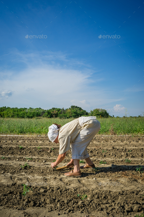Woman farmer planting young tomatoes plants - Stock Photo - Images