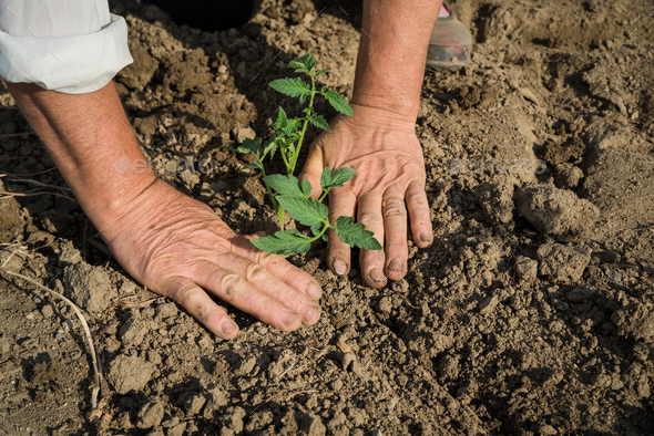 Planting tomatoes in the field - Stock Photo - Images