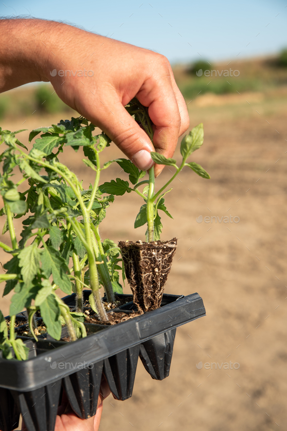 Man's hands holding young tomatoes plants - Stock Photo - Images