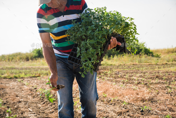 Man farmer planting young tomatoes plants - Stock Photo - Images