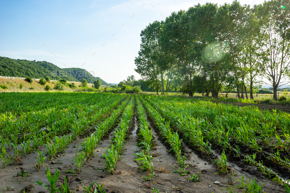 Green field with young corn - Stock Photo - Images