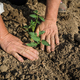 Planting tomatoes in the field - PhotoDune Item for Sale