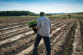 Man farmer planting young tomatoes plants - PhotoDune Item for Sale