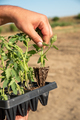 Man's hands holding young tomatoes plants - PhotoDune Item for Sale