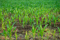 Green field with young corn - PhotoDune Item for Sale