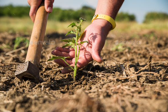 Man's hand touching young tomato plant. - Stock Photo - Images