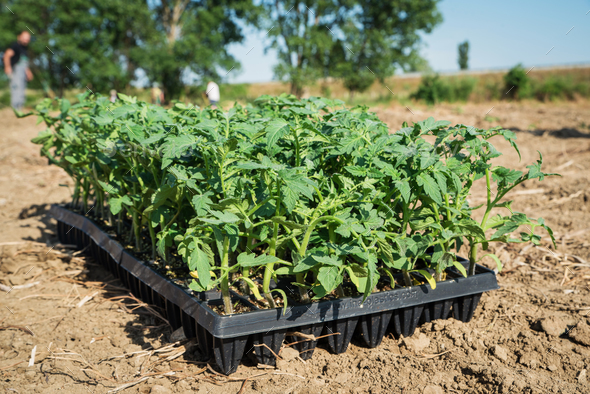 Young tomato plants in the field - Stock Photo - Images