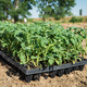 Young tomato plants in the field - PhotoDune Item for Sale