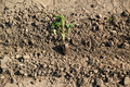 Planting young tomato plants in the field - PhotoDune Item for Sale