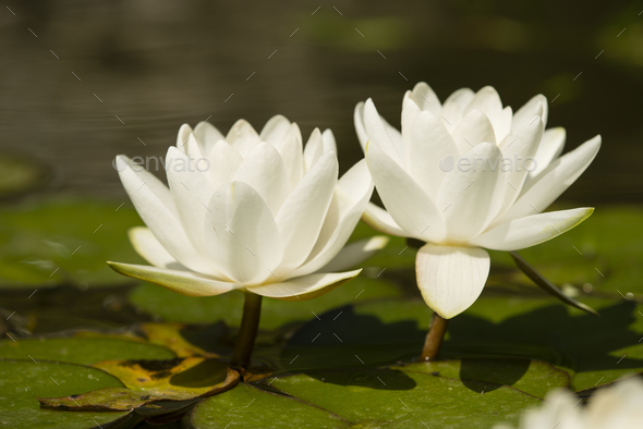 Flowers of waterlily plant on pond - Stock Photo - Images