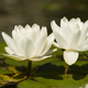 Flowers of waterlily plant on pond - PhotoDune Item for Sale