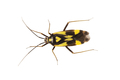 True bug Grypocoris sexguttatus on a white background - PhotoDune Item for Sale