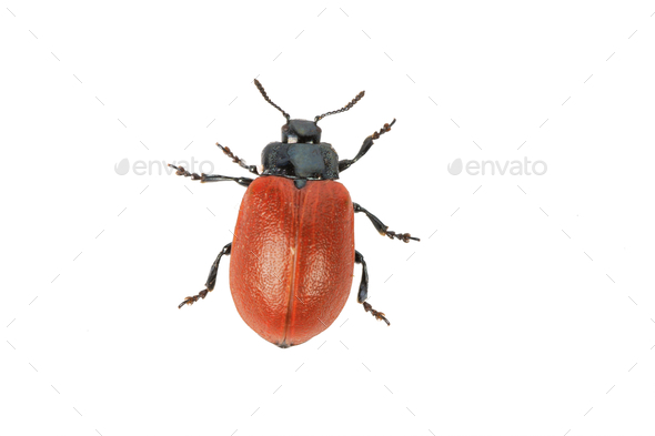 broad-shouldered leaf beetle Chrysomela populi on a white background - Stock Photo - Images