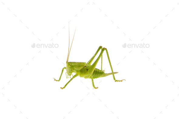 Green grasshopper on a white background - Stock Photo - Images