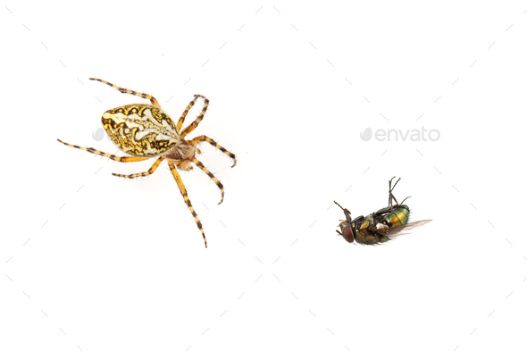 Cross spider and fly on a white background - Stock Photo - Images