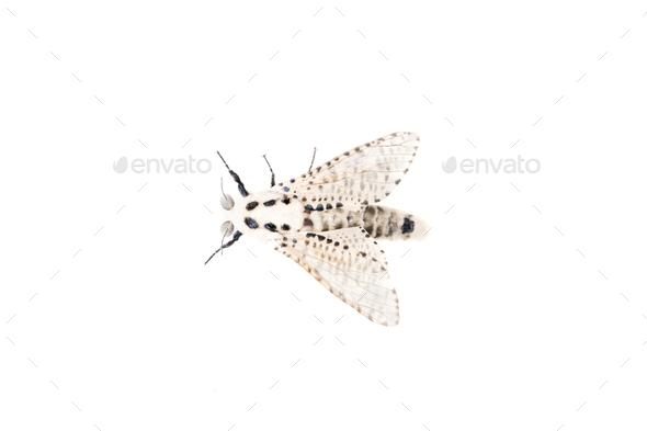 Wood leopard moth Zeuzera pyrina on a white background - Stock Photo - Images