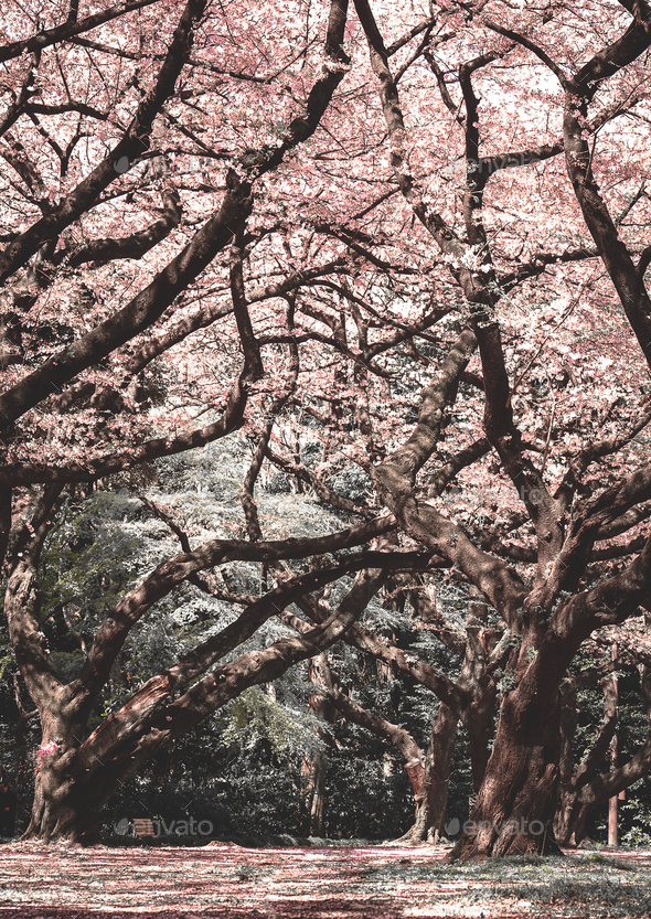 Cherry Blossom Forest - Stock Photo - Images