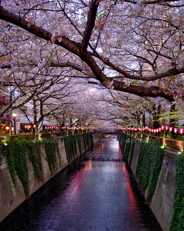 Blossoms in Meguro River - Stock Photo - Images